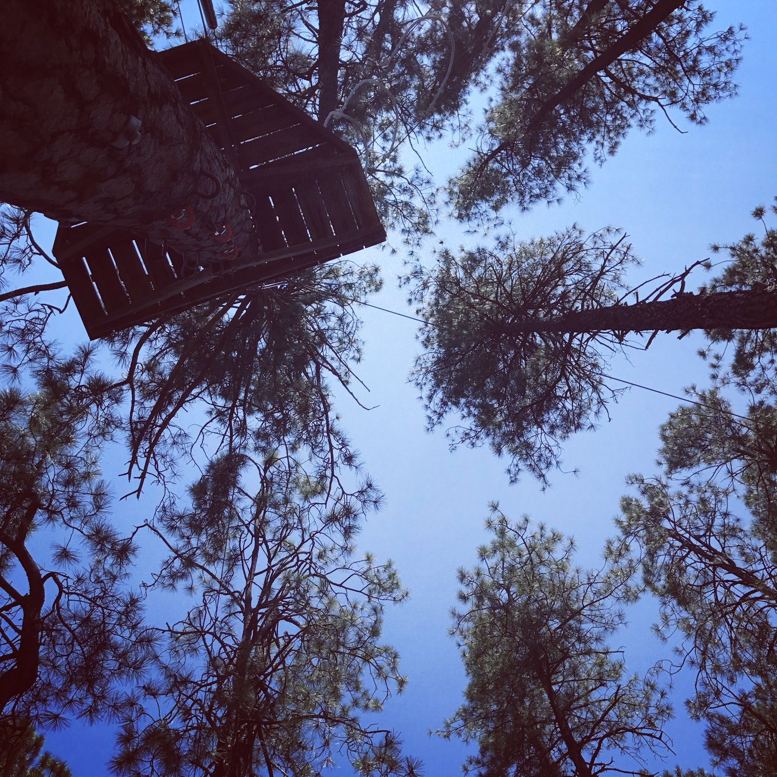 Pine trees at friendly pines