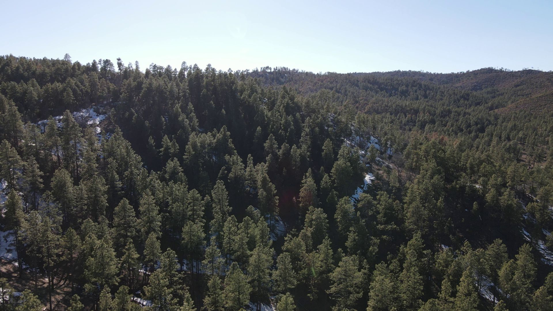 Pine trees at Camp Stein