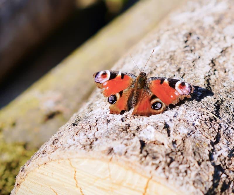 Schmetterling auf Baumstamm