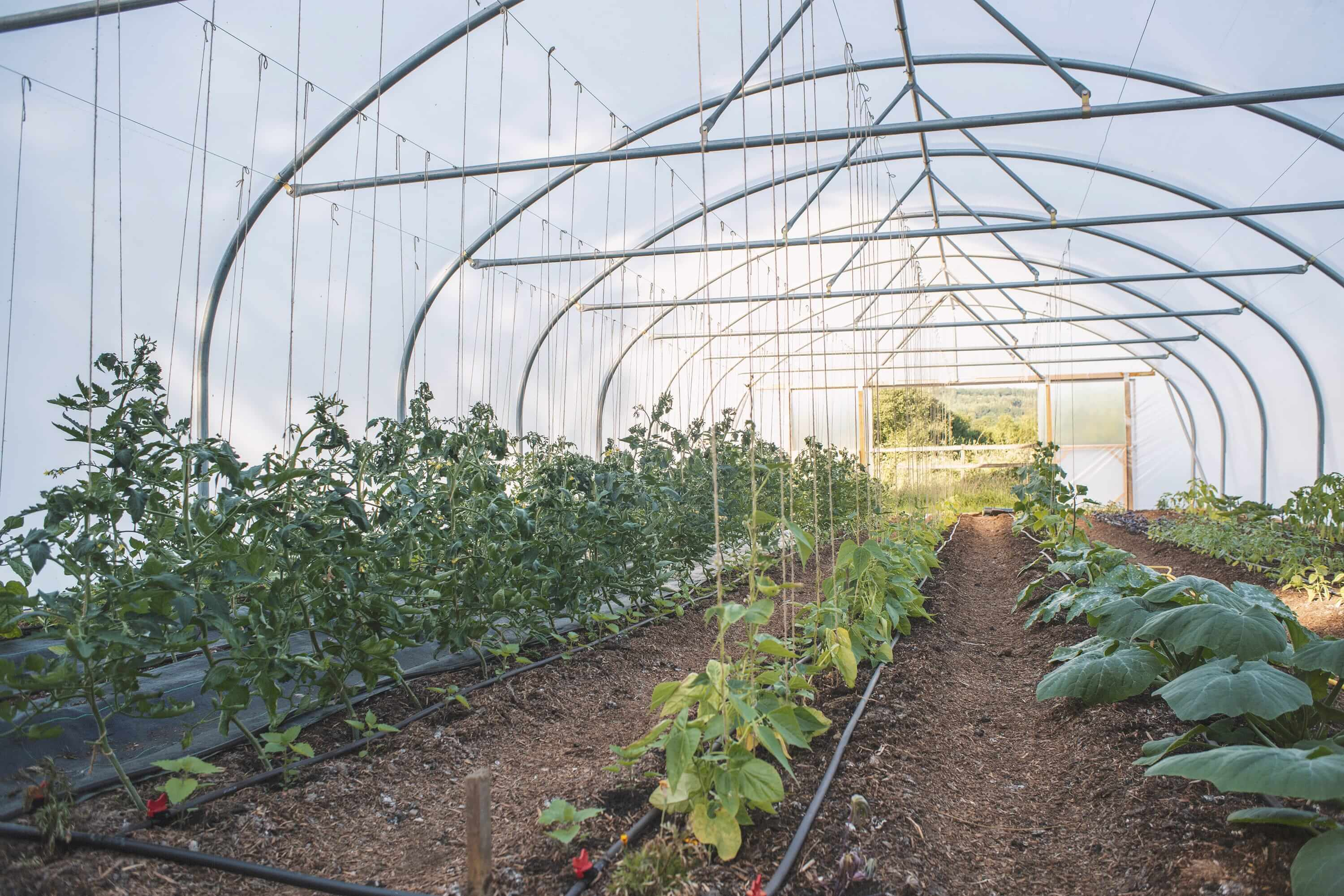 Vegetables growing in polytunnels