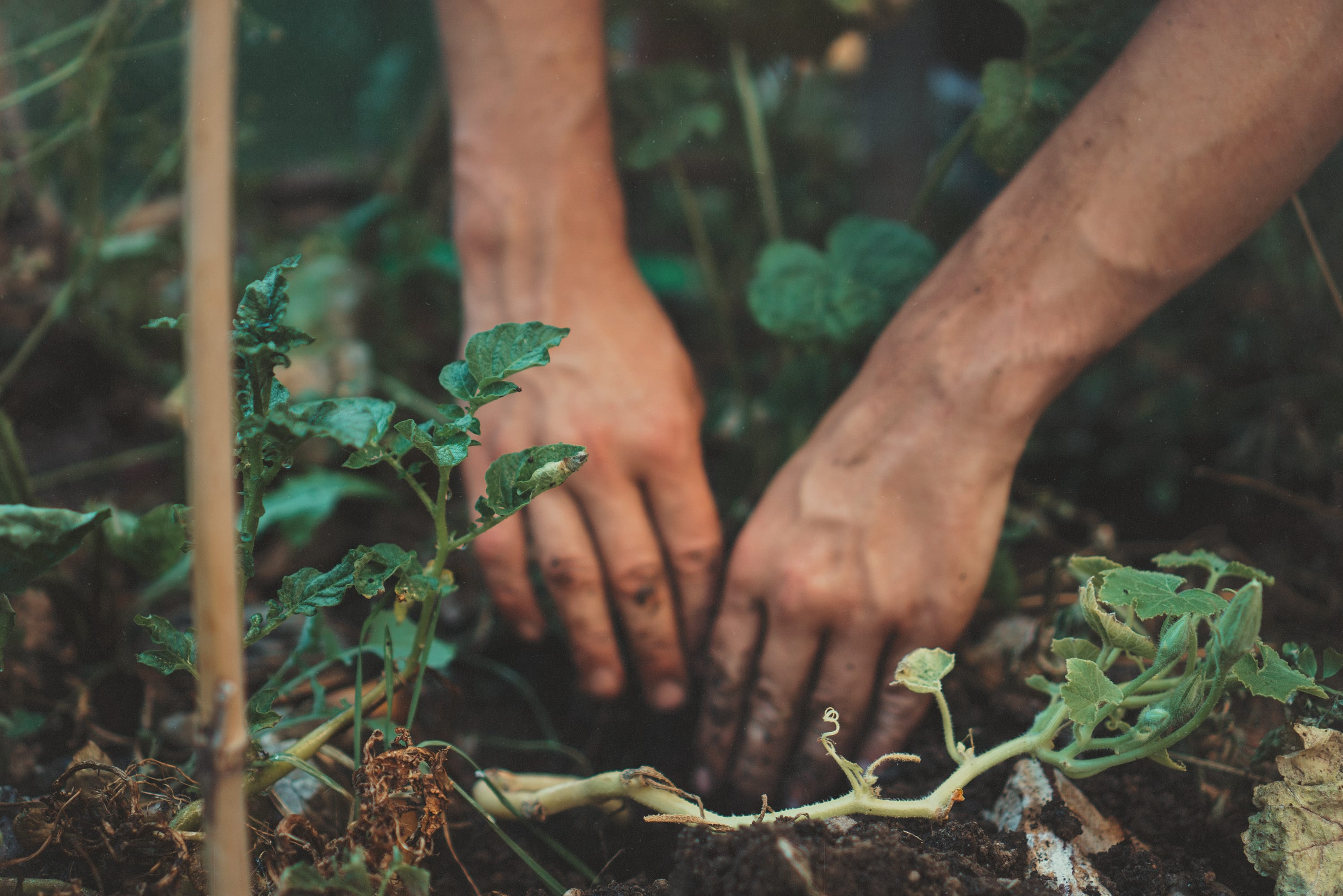 Someone with hands in soil