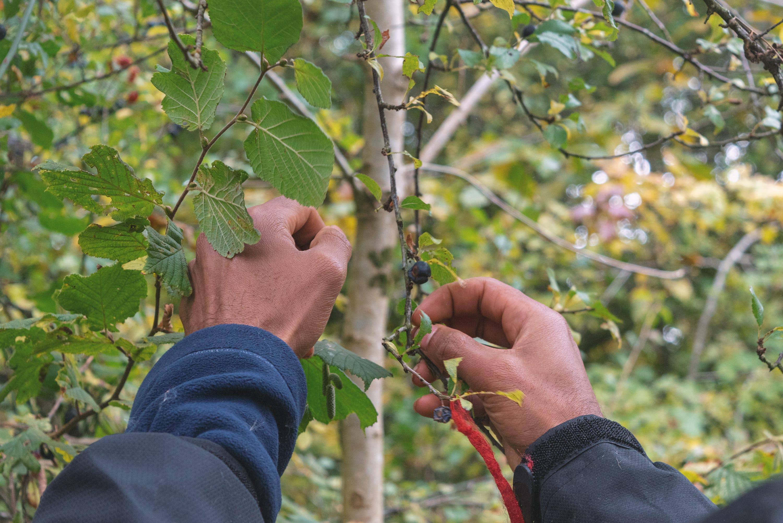 Foraging berries