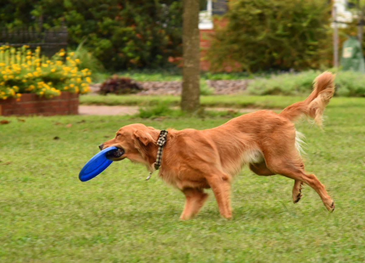Frisbee Dog at Hurkamp Park