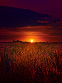 A sun sets upon a field of corn.