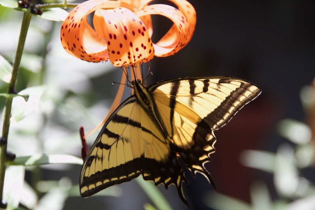 Swallowtail Butterfly on feeding on Tiger Lilies