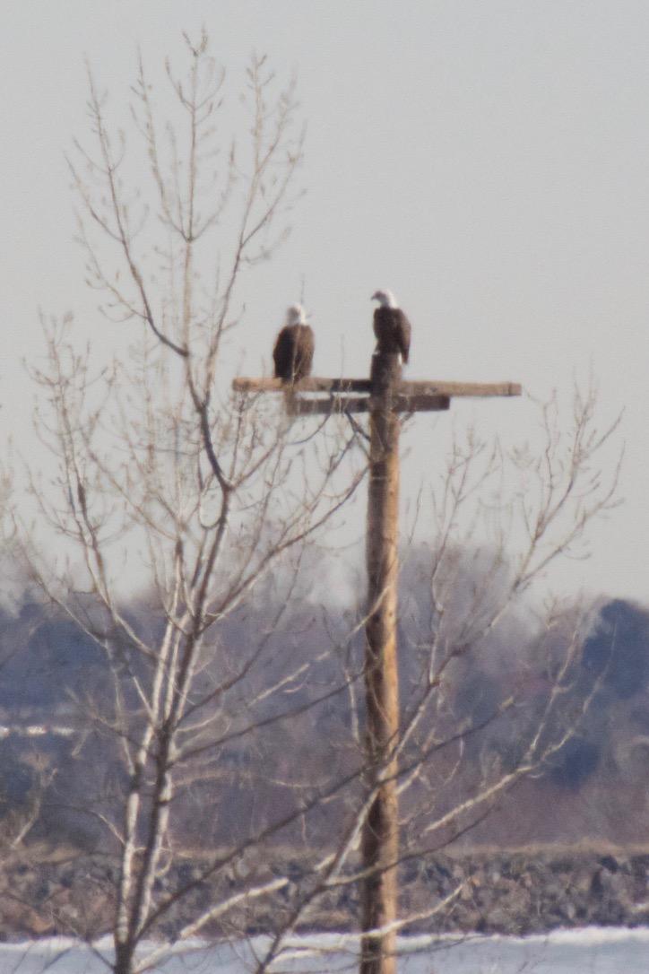 Eagles on power pole