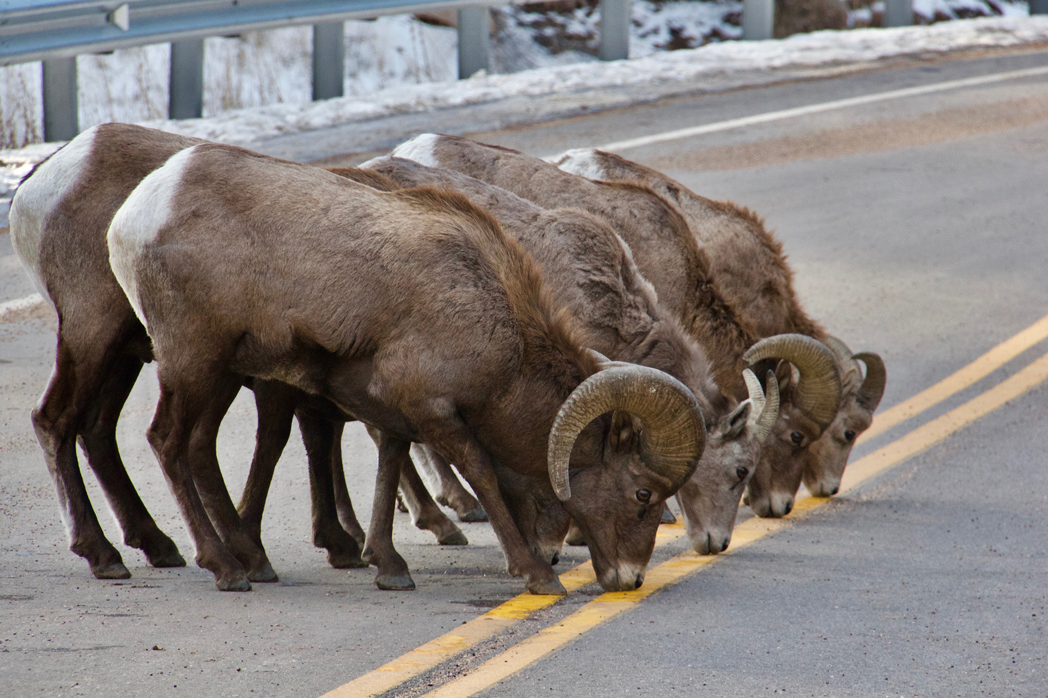 Big Horn Sheep licking the salt on the road