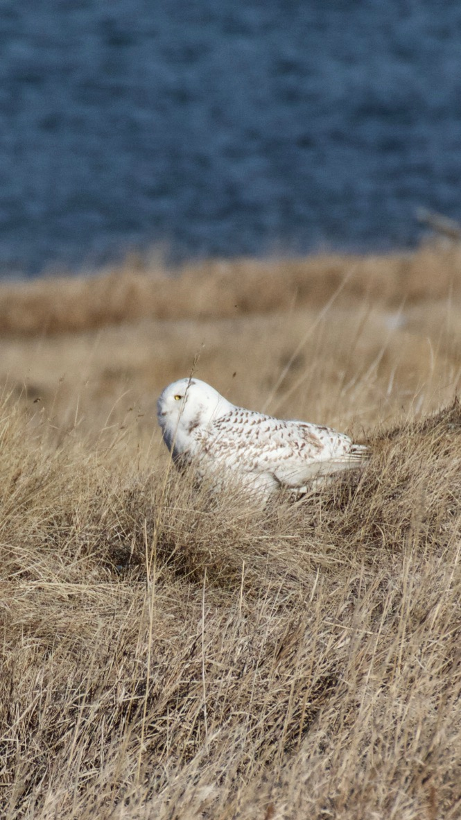 Snowy Owl on south side of Standley Lake