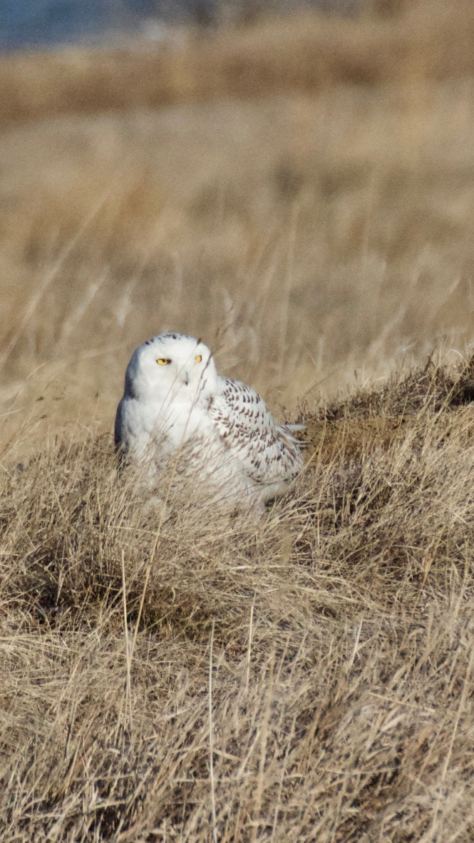 Snowy Owl on south side of Standley Lake, Westminster 12.27.17