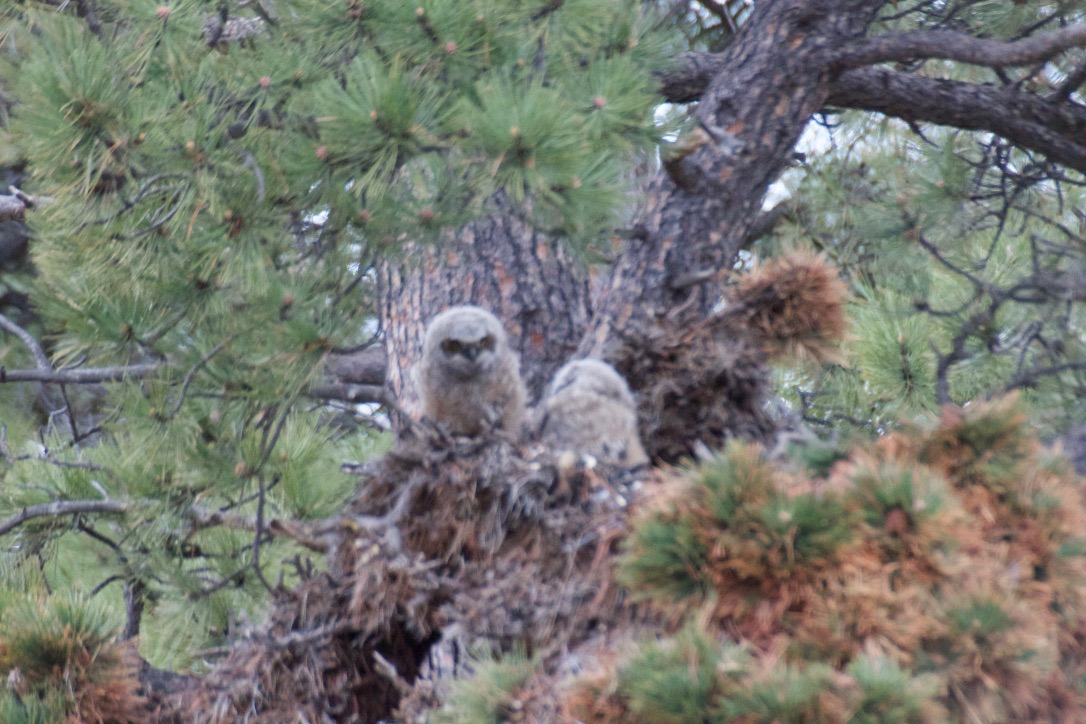Baby owls high in a Ponderosa Pine