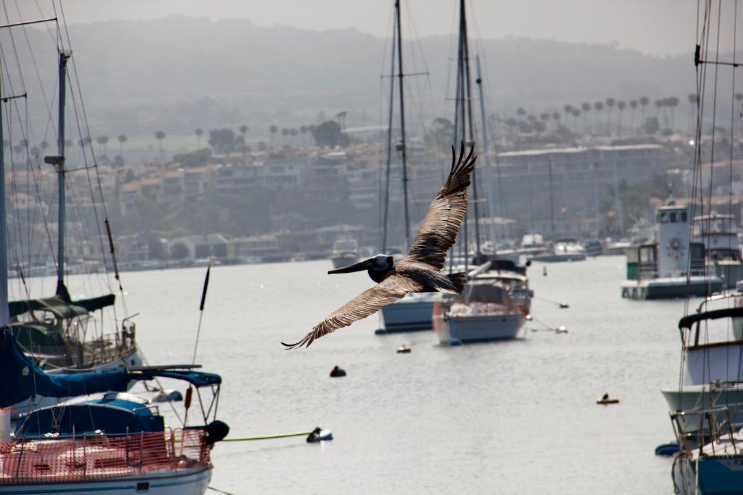 Pelican over Newport Harbor