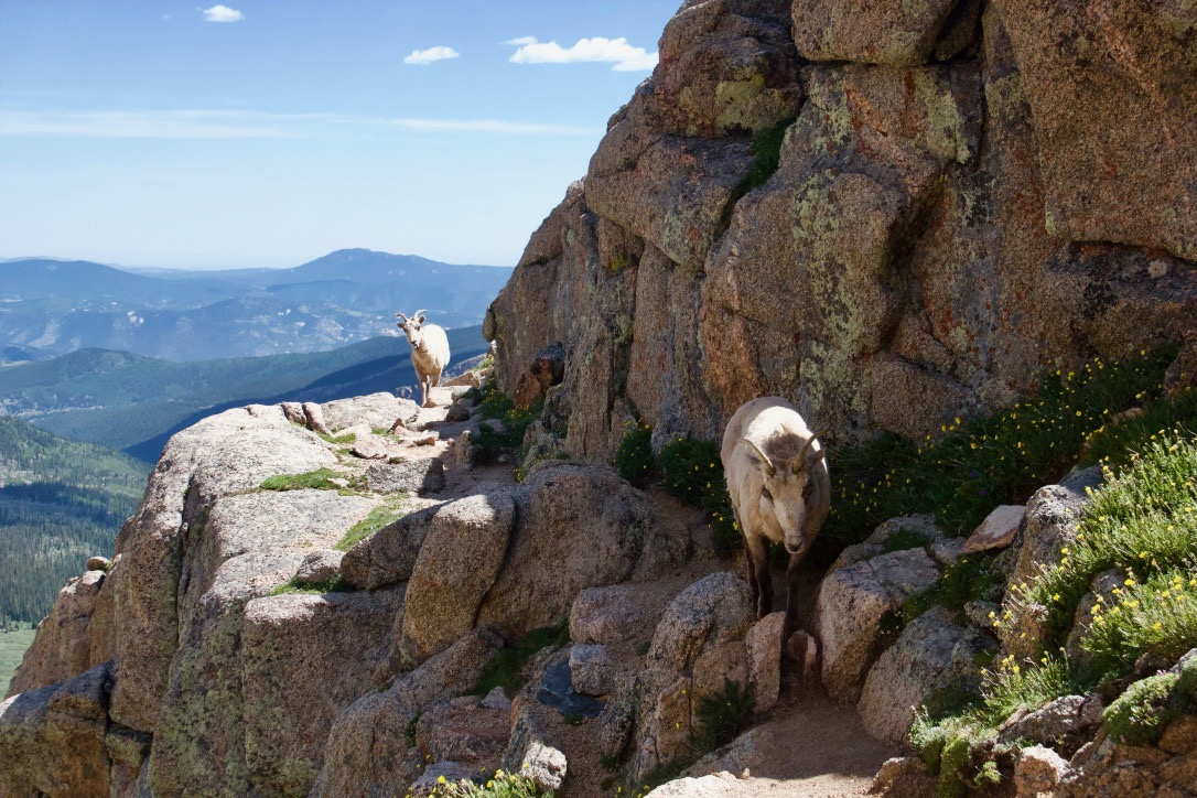 Big Horn Sheep on the trail above Chicago Lakes Mt Evans 6/28/18