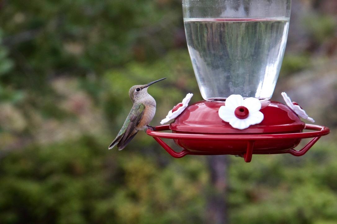 Hummingbird feed