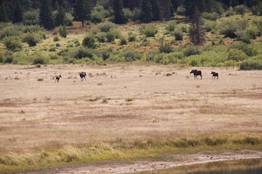 Moose at Horse Shoe Park
