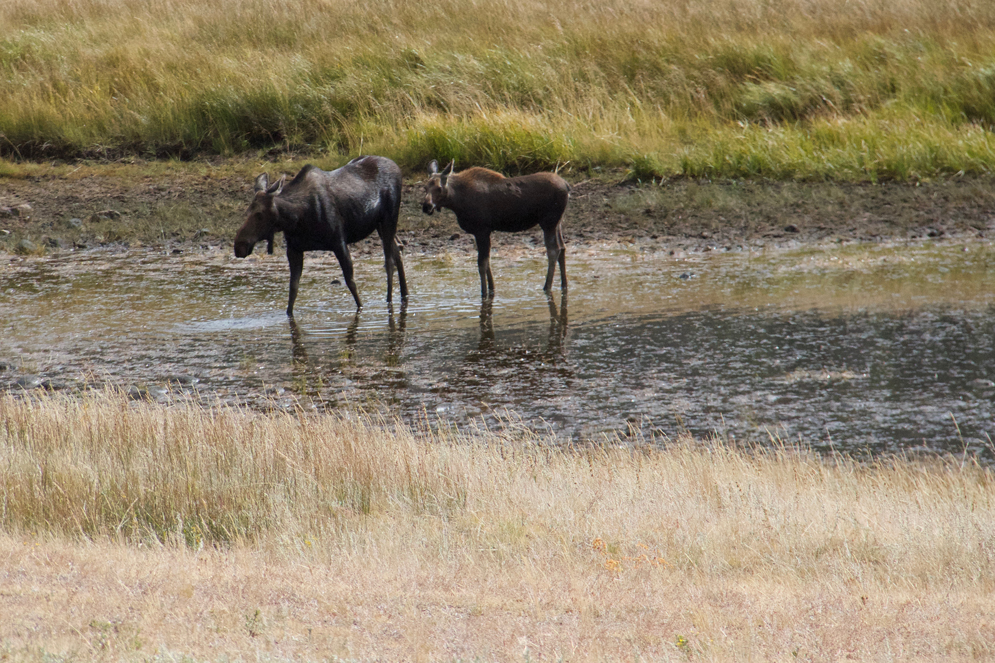 Moose Mother & Calf Horse Shoe Park