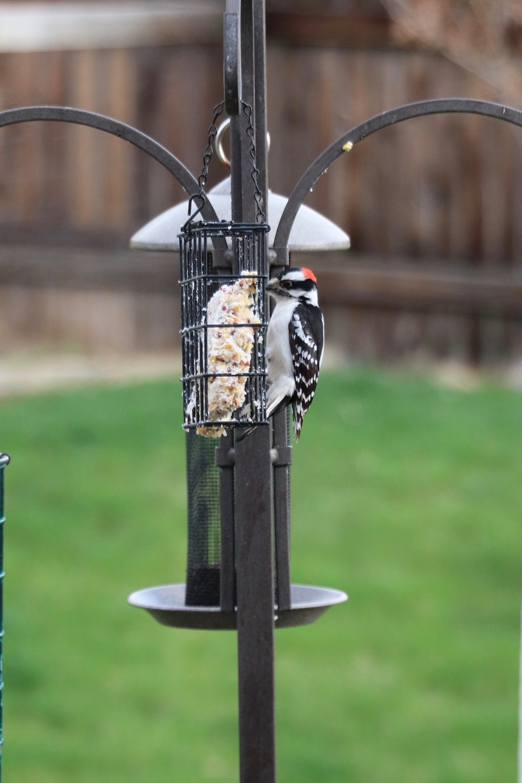Downey Woodpecker on feeder