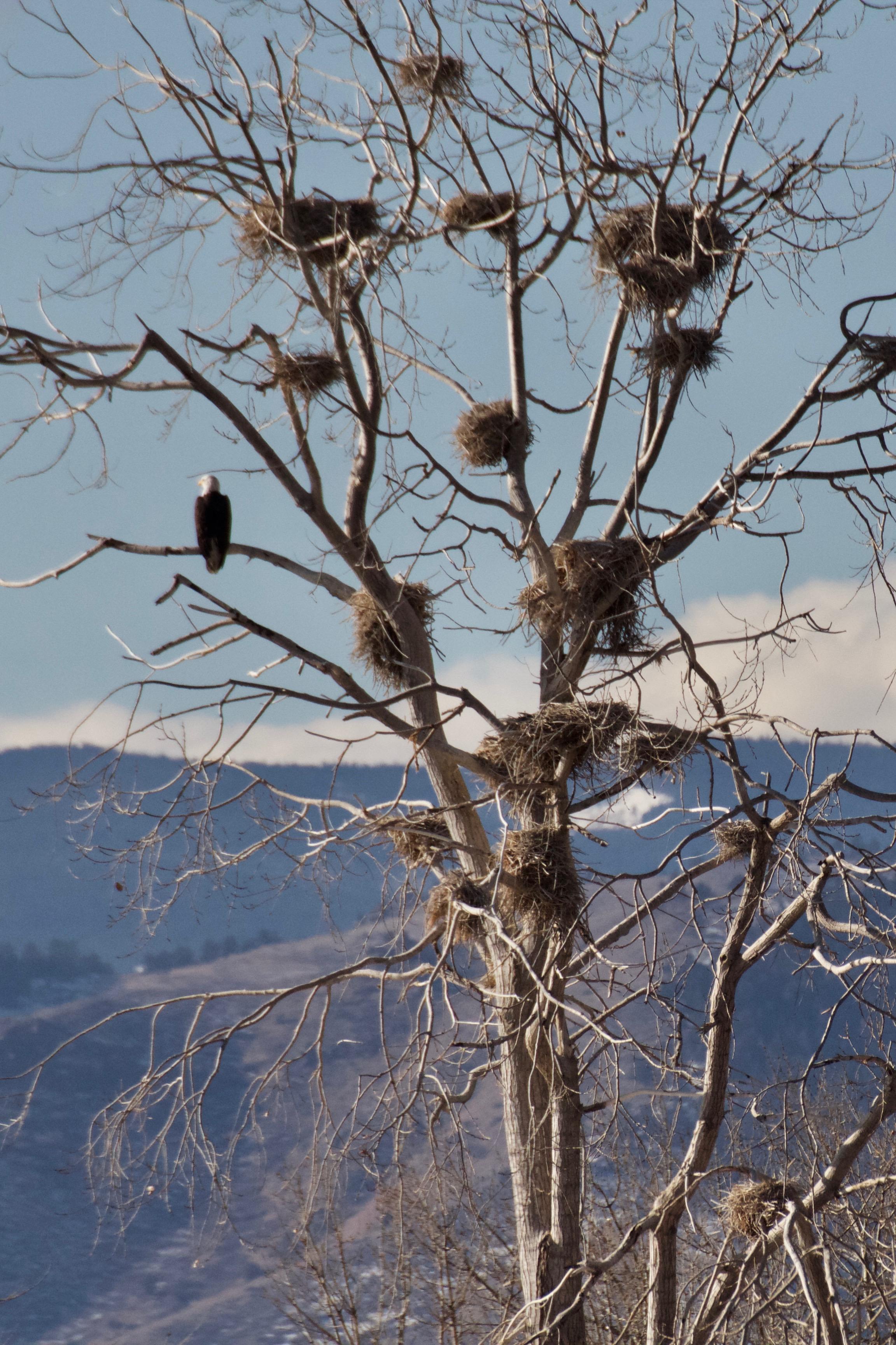 Eagle in the nesting tree on Bird Island