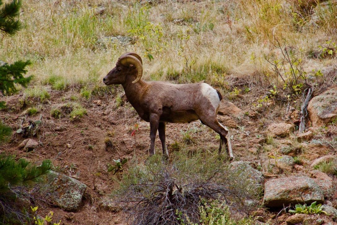 Big Horn Sheep along St Vrain Canyon