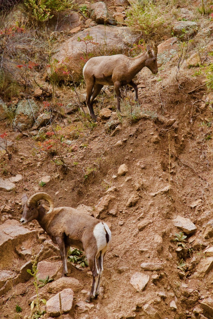 Female and male Big Horn Sheep along St Vrain Canyon