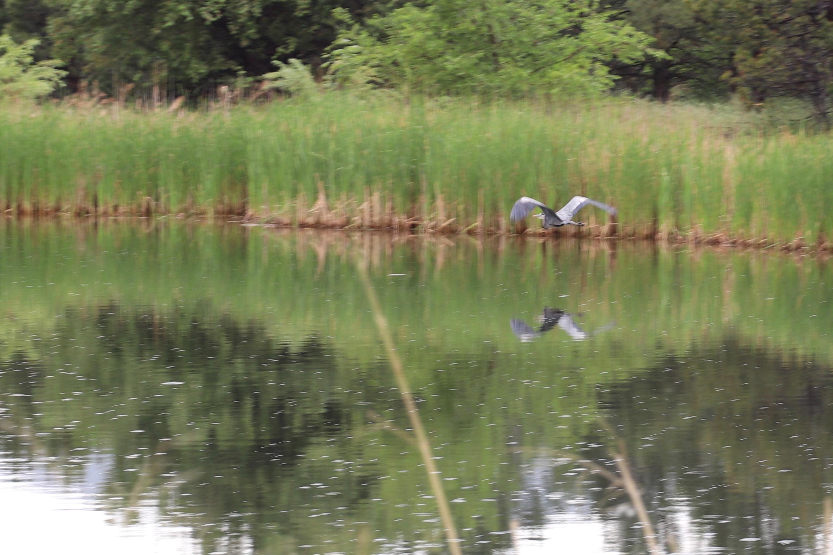 Blue Heron flying over pond