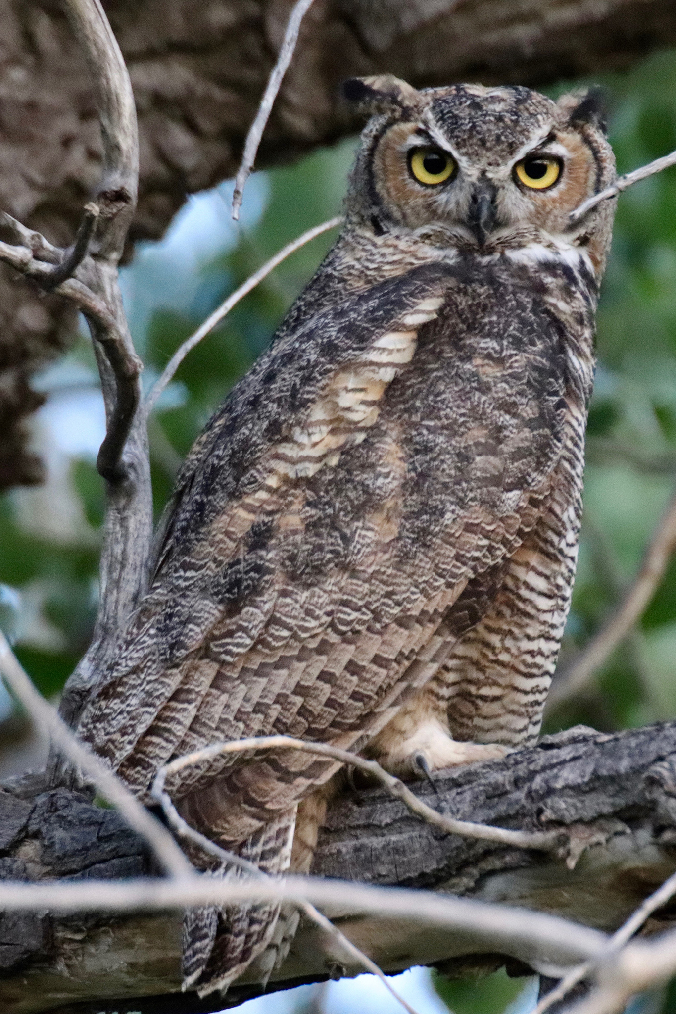 Owl at Farmer's Canal near Standley Lake