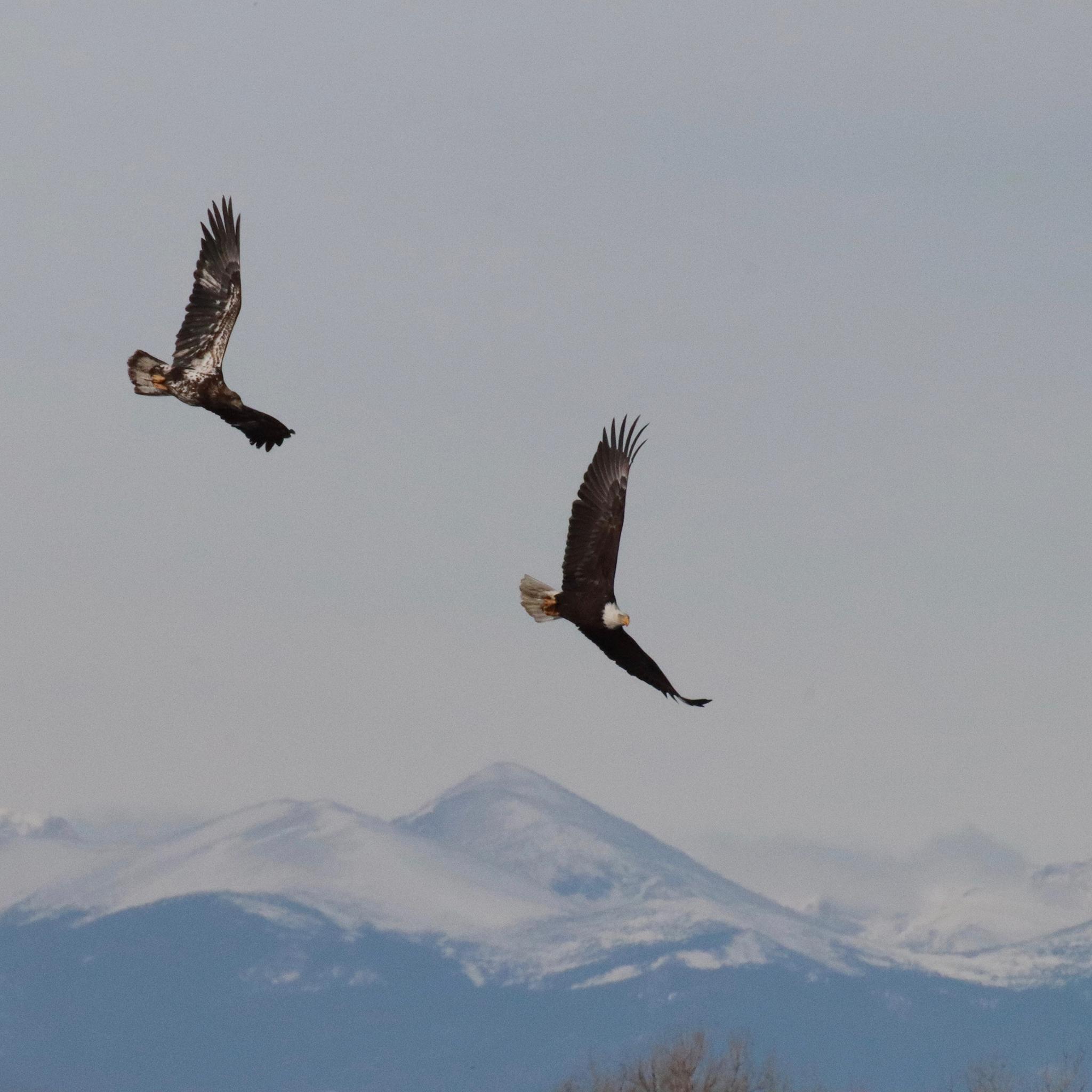 Juvenile and adult eagle flying over Barr Lake