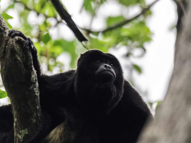 Mantled howler monkey (Alouatta palliata), one of the few primates on the Peruvian Coast