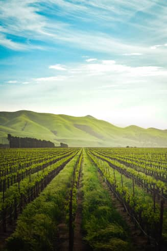 Wine plantation with mountains