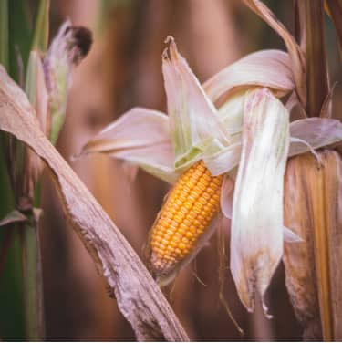 Corn stalk dried up by a drought