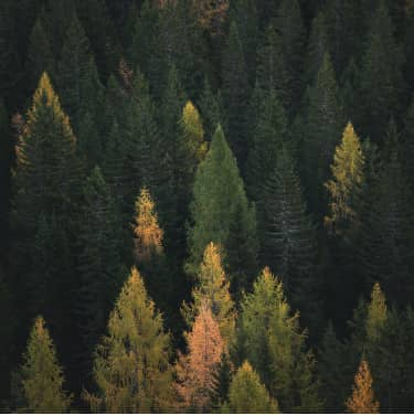 Aerial image of pine forest