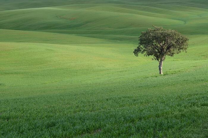 A tree in a green grass field