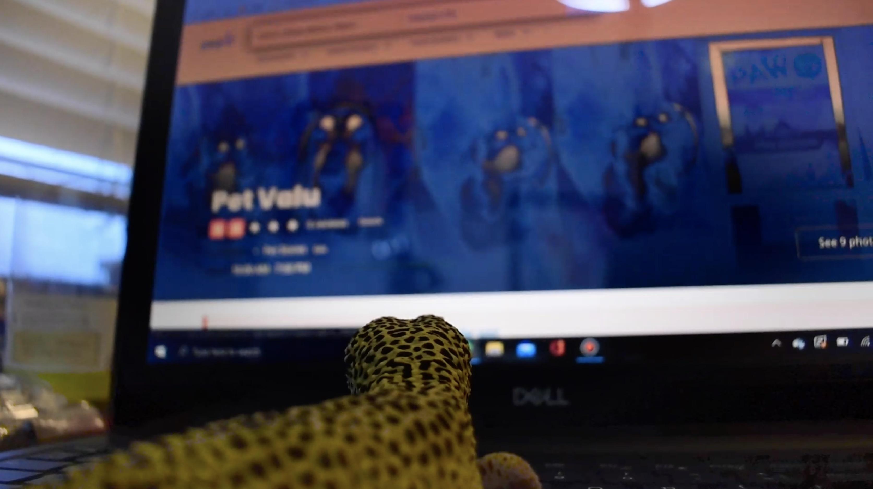 A lizard looking at pet valu's website