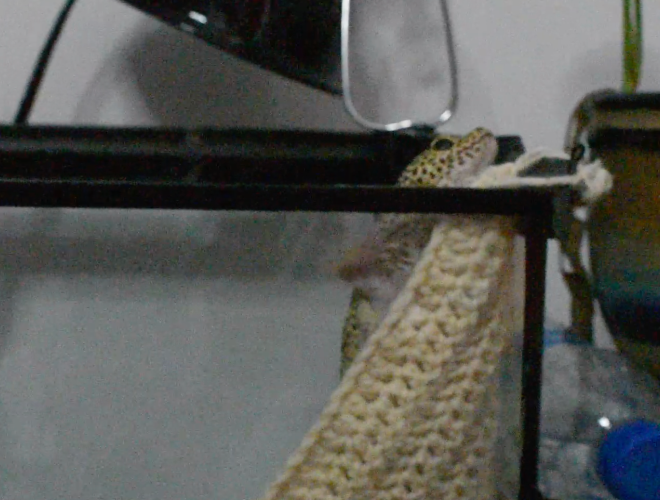 A lizard climbing out of his tank