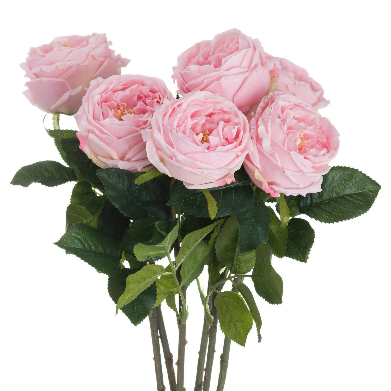 Pastel Pink Portland Rose