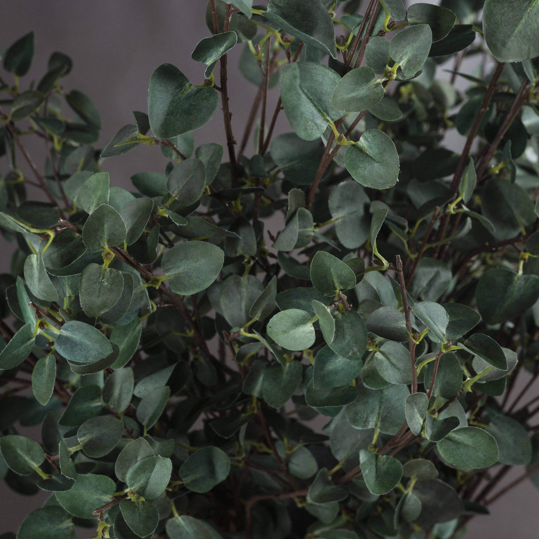 Tall Eucalyptus Stem
