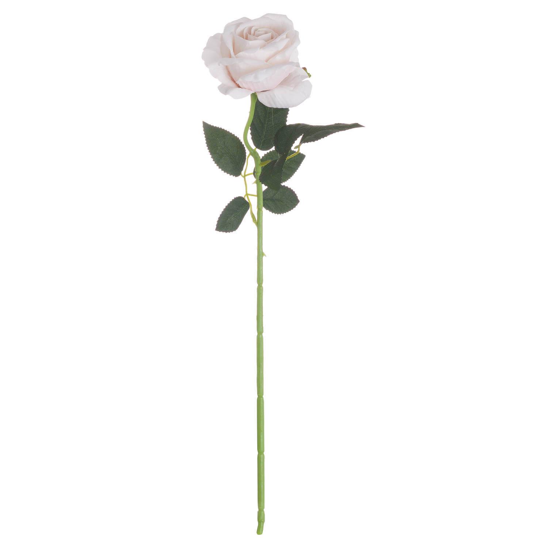Pink Cream Tea Rose