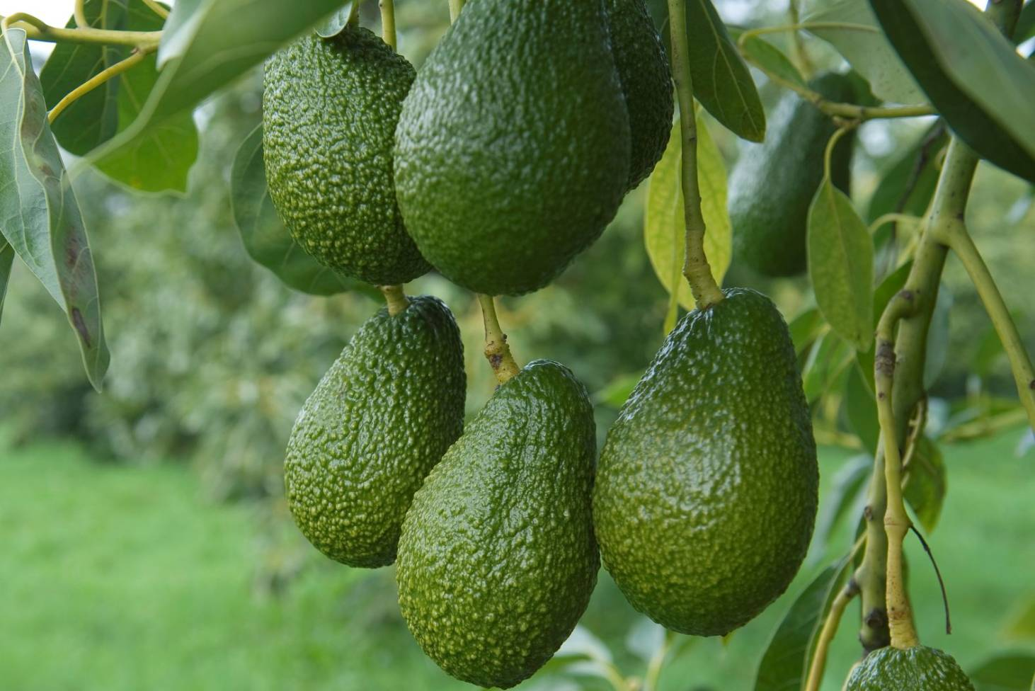 Large Avocados (each)