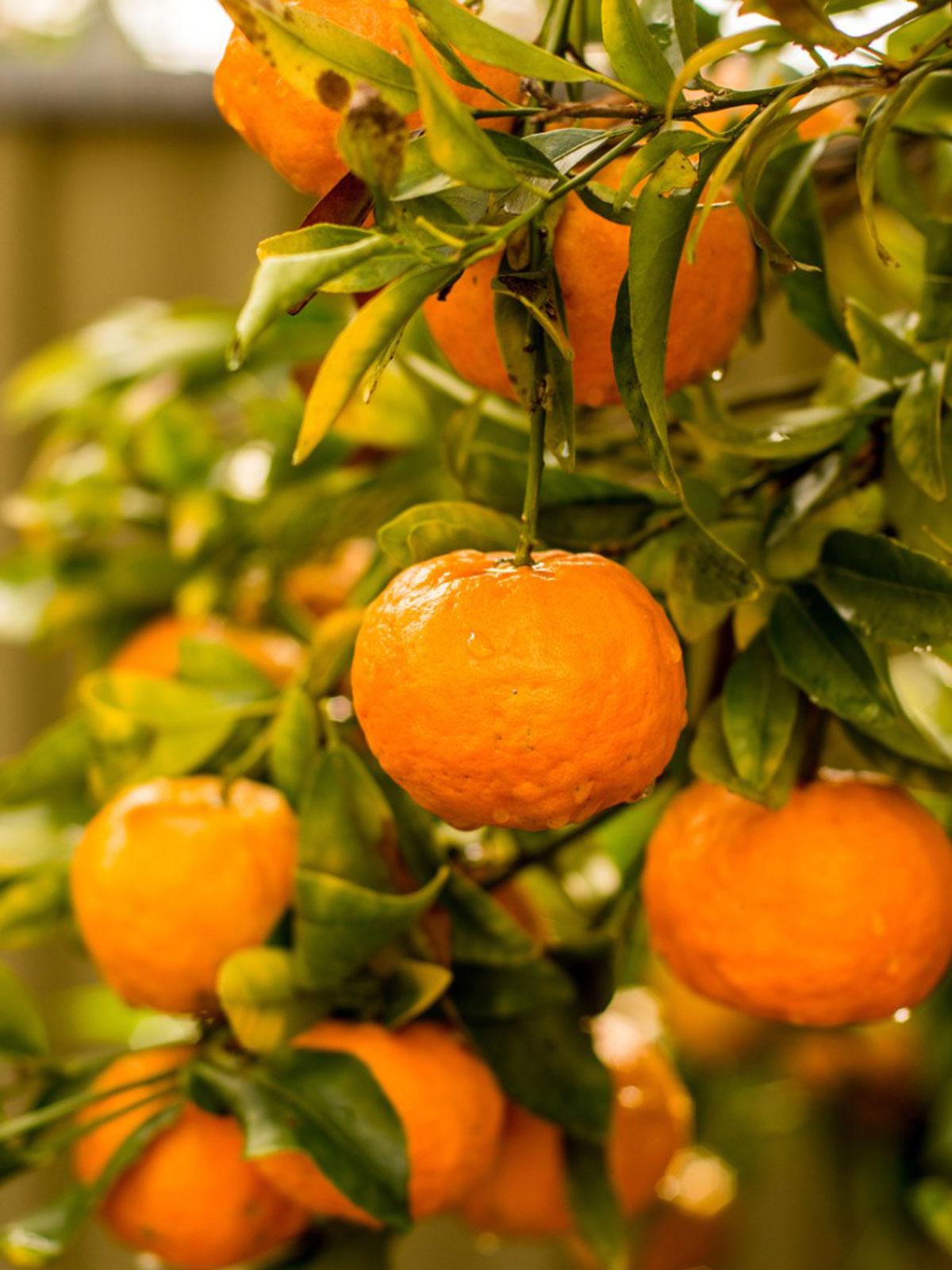 Mandarins (NZ) - 1kg