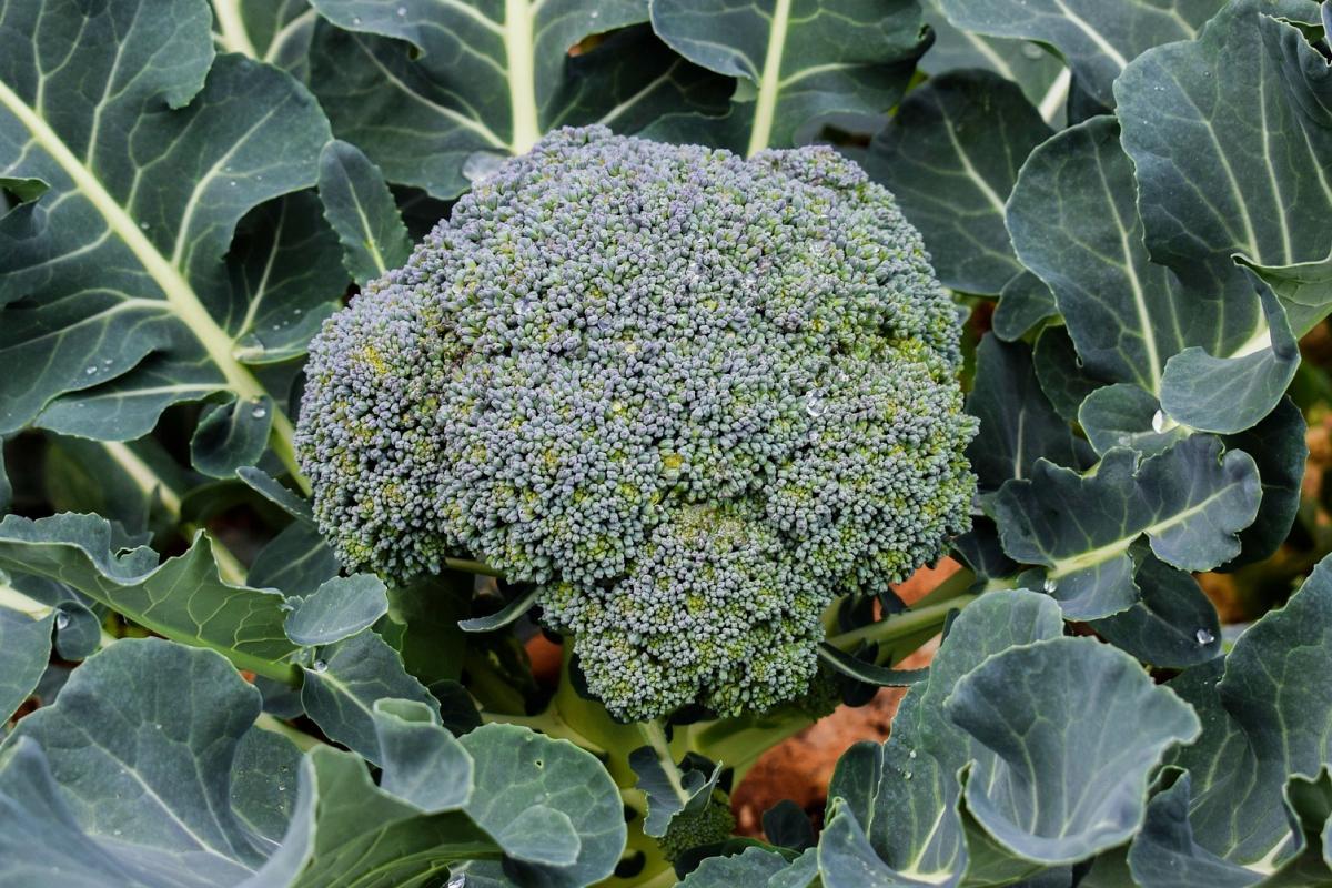 Broccoli (NZ) - each