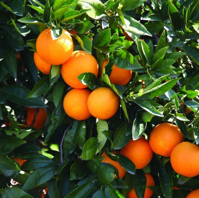 Oranges (NZ)- 1kg