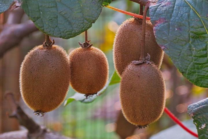 Kiwi Fruit (NZ) - 1kg