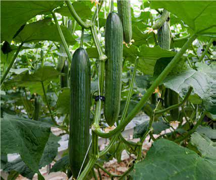 Tele Cucumber (each)