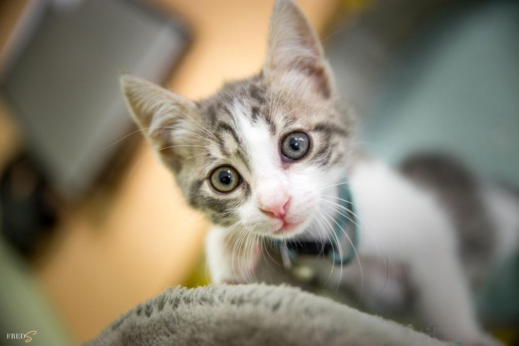 Photographe Corporate Avignon Vaucluse, chaton gris, adoption