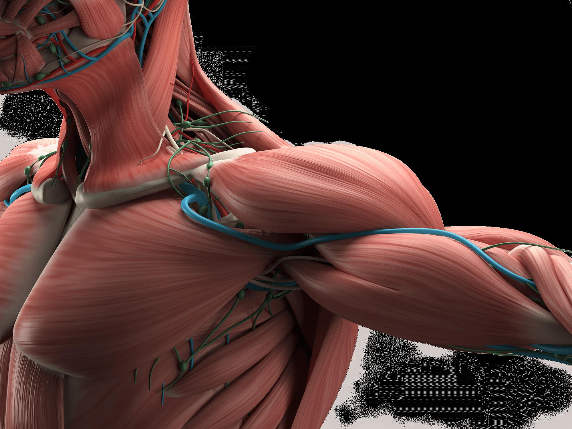 L'anatomie de l'épaule