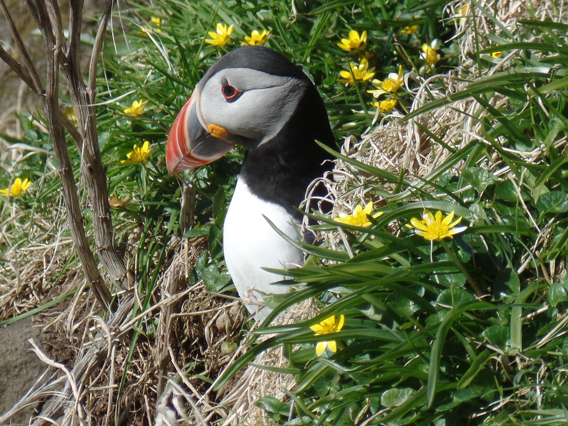 Puffins can be seen on Staffa between May and July