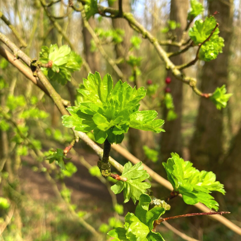 Fresh Hawthorn Leaves