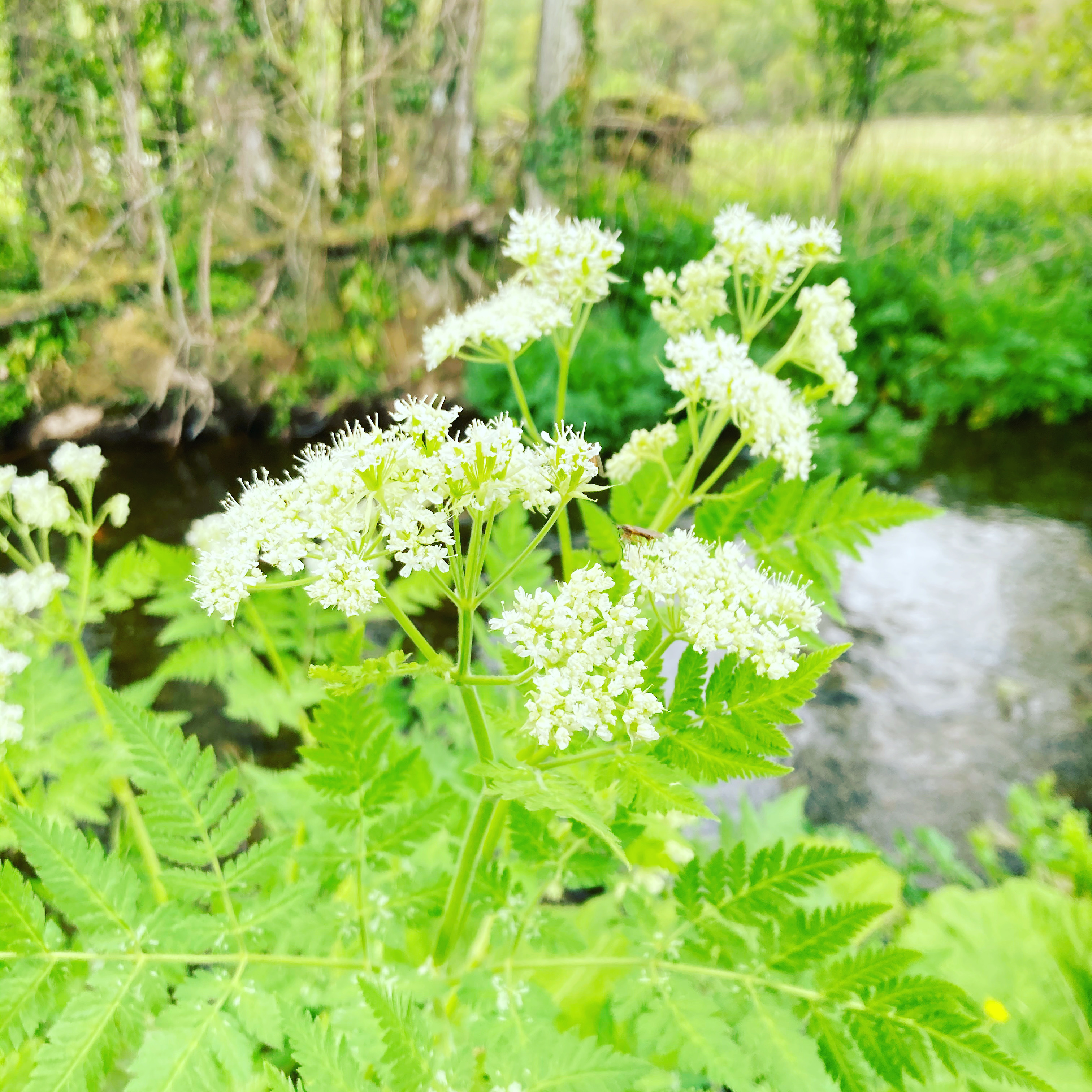 Sweet Cicely Sparkling Wine