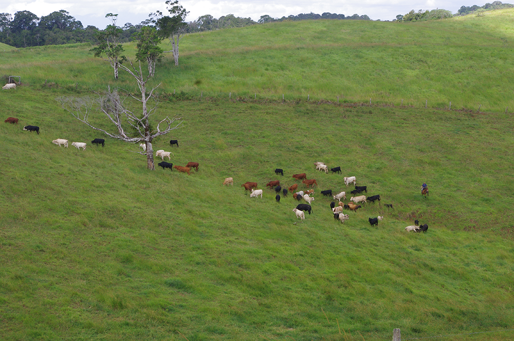 Wide shot of cows on a grassy hill.