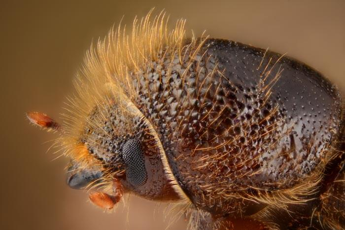 Eight-toothed spruce bark beetle (Ips typographus)