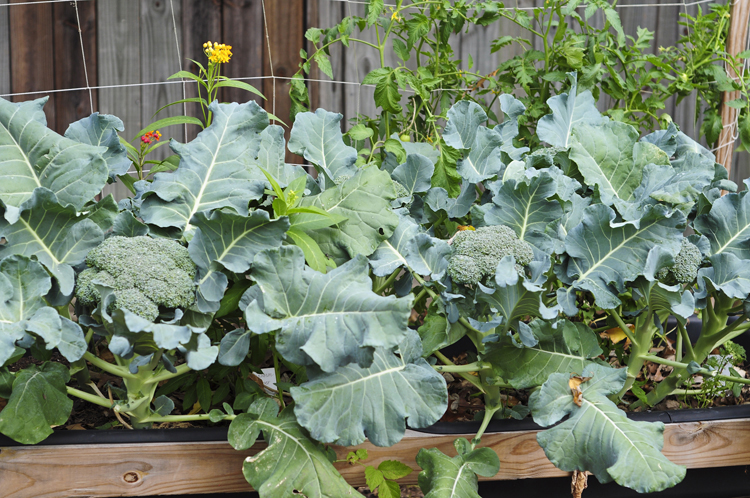 10-Easy-Things-to-Grow-broccoli